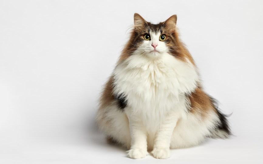 Gato Norueguês da Floresta fofo