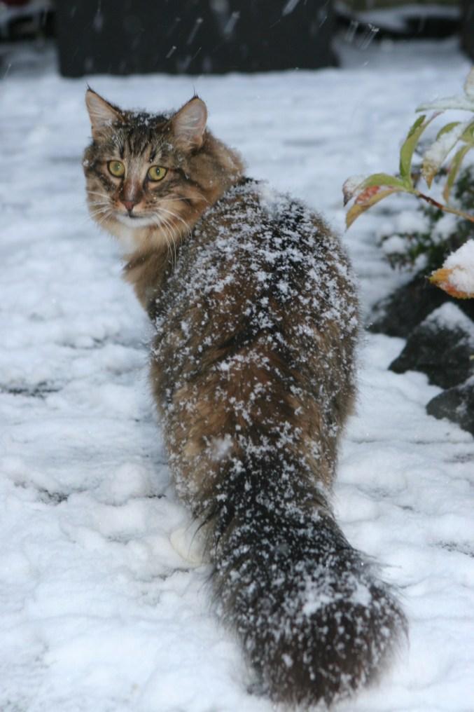 Gato Norueguês da Floresta neve