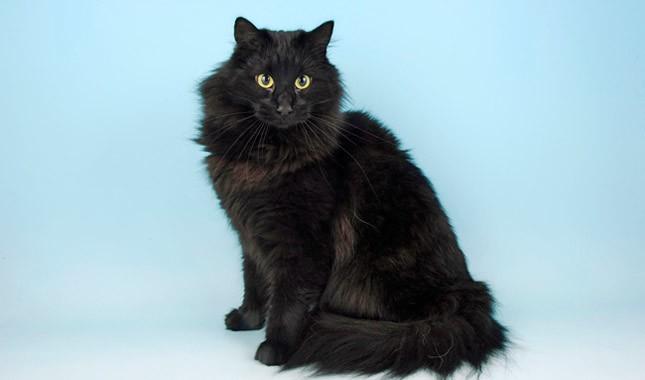 Gato Norueguês da Floresta preto