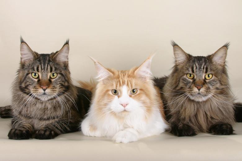 Gato Norueguês da Floresta trio
