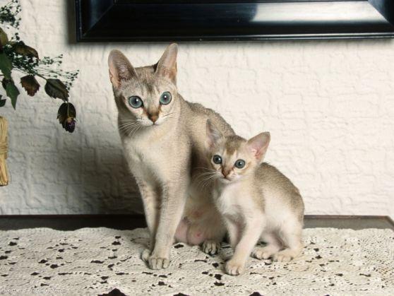Gato Singapura mãe e filhote