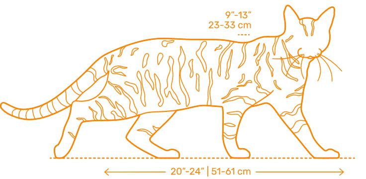 Gato Toyger medidas