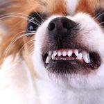 cachorro rosnando agressivo