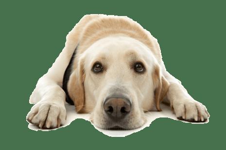 dermatoses vesiculopustulosas em cães