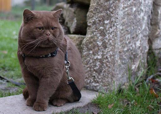 Gato British shorthair marrom