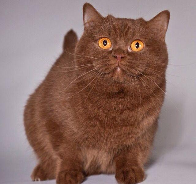 Gato Munchkin marrom