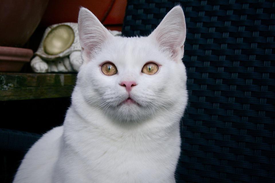 Gato close olhos dourados