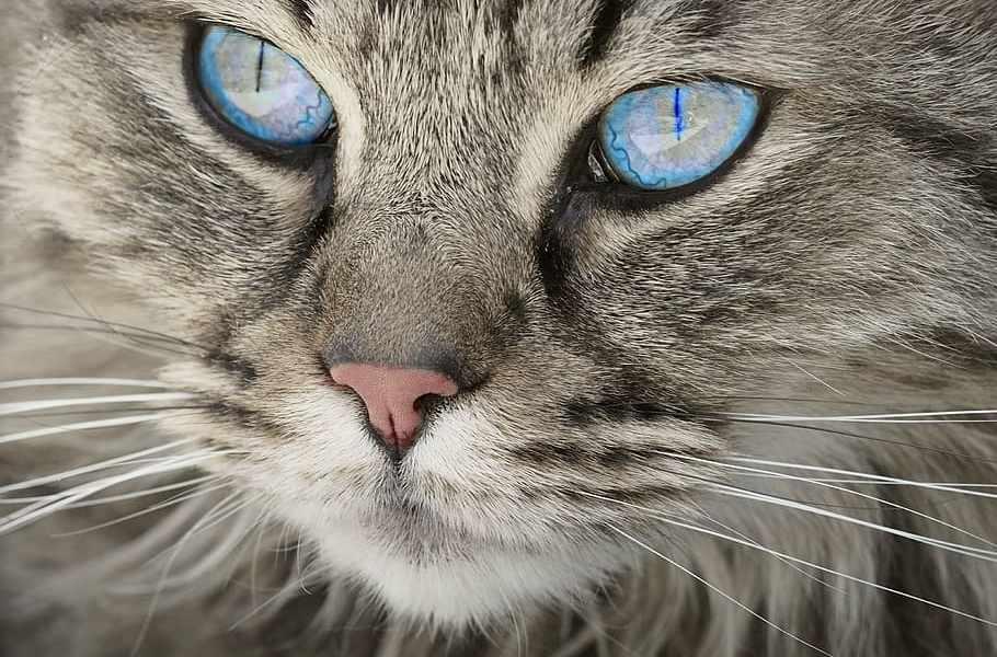 Gatos - olhos azuis