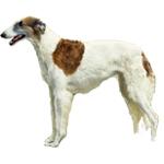 Cachorro Borzoi