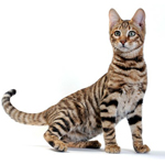 Gato Toyer