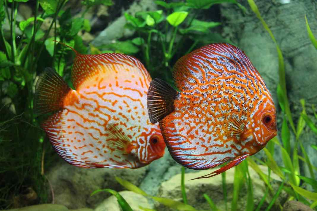 Two Fish not overfed
