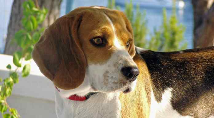 Beagle Dog Care