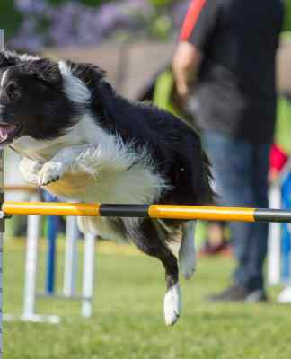 Dog enjoying agility training