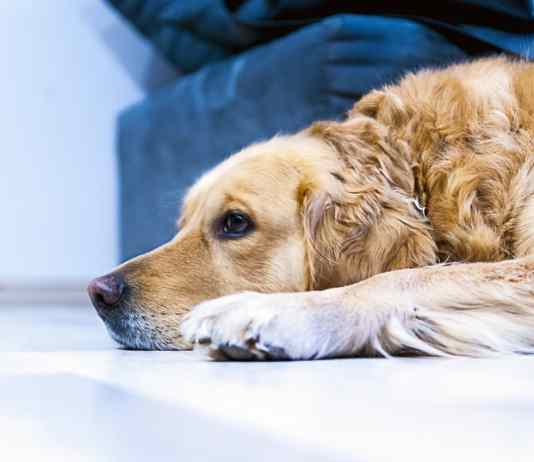 Arthritic Dog