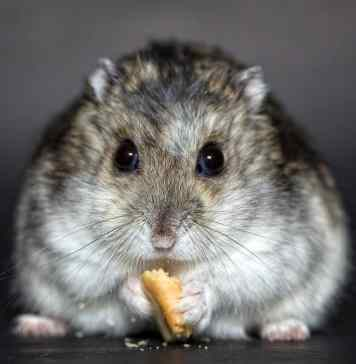 Hamster eating biscuit