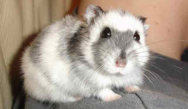 5 Popular Types Of Hamsters And Their Traits