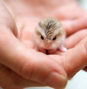 Dwarf hamster in hand