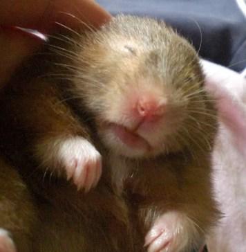 Hamster Hibernating