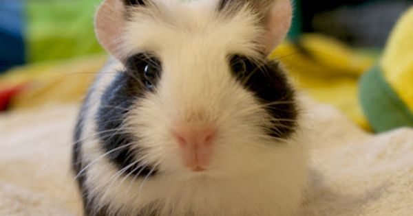 Panda hamster close up