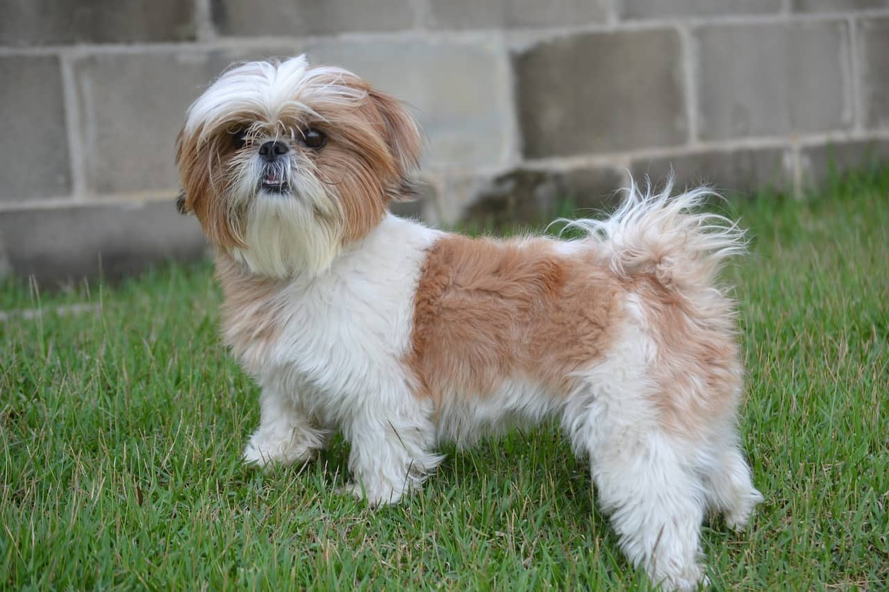 Shih Tzu Care Tips On How To Care For Your Shih Tzu
