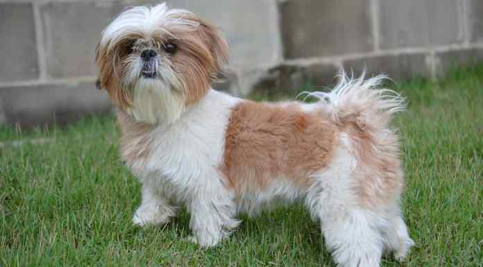 Shih-tzu breed care