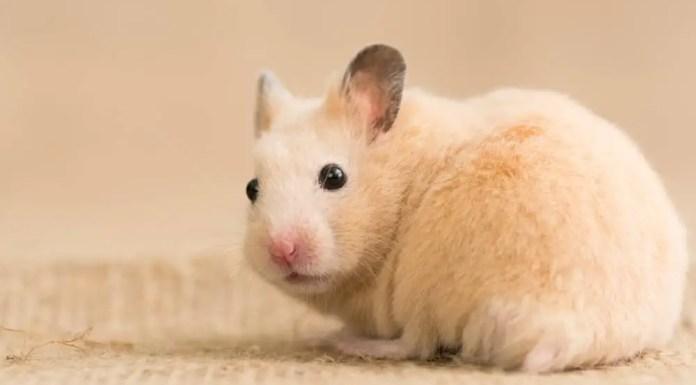 Syrian Hamster looks back