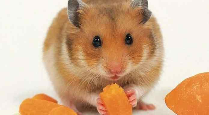 Syrian or golden hamster
