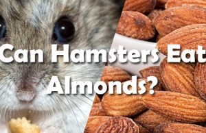 Can Hamsters Eat Almonds