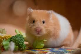 Can Hamsters Eat Spinach?
