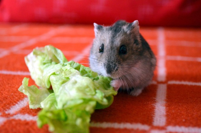 Can Hamsters Eat Lettuce