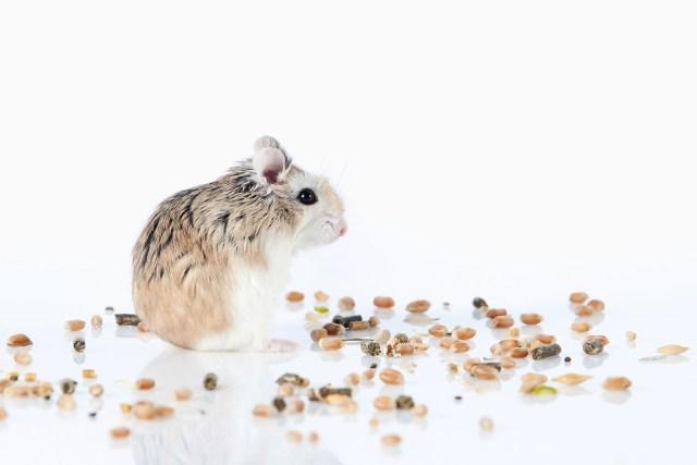 Robo Dwarf Hamster – All About Roborovski Dwarf Hamsters