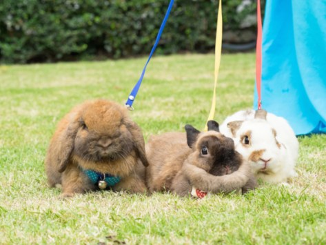 Can You Leash Train a Rabbit?