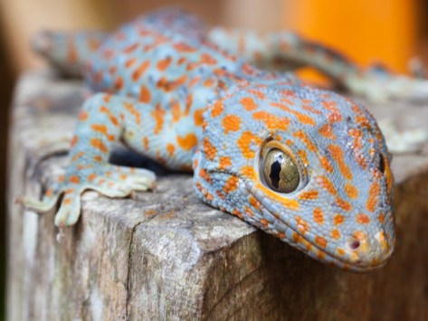 Caring for a Baby Gecko