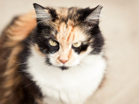 Cat Sneering: What Is the Flehmen Response?