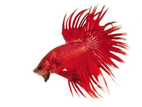 Facts About Betta Fish