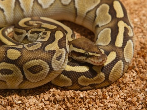 How Can I Tell if My Snake is Sick?