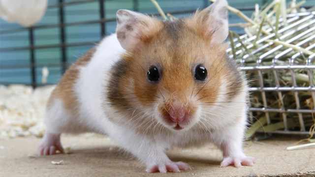 Is a hamster a rodent