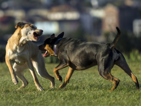 What to Do About a Dog That Bullies Other Dogs