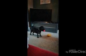 Dog Fails to chuck ball for himself