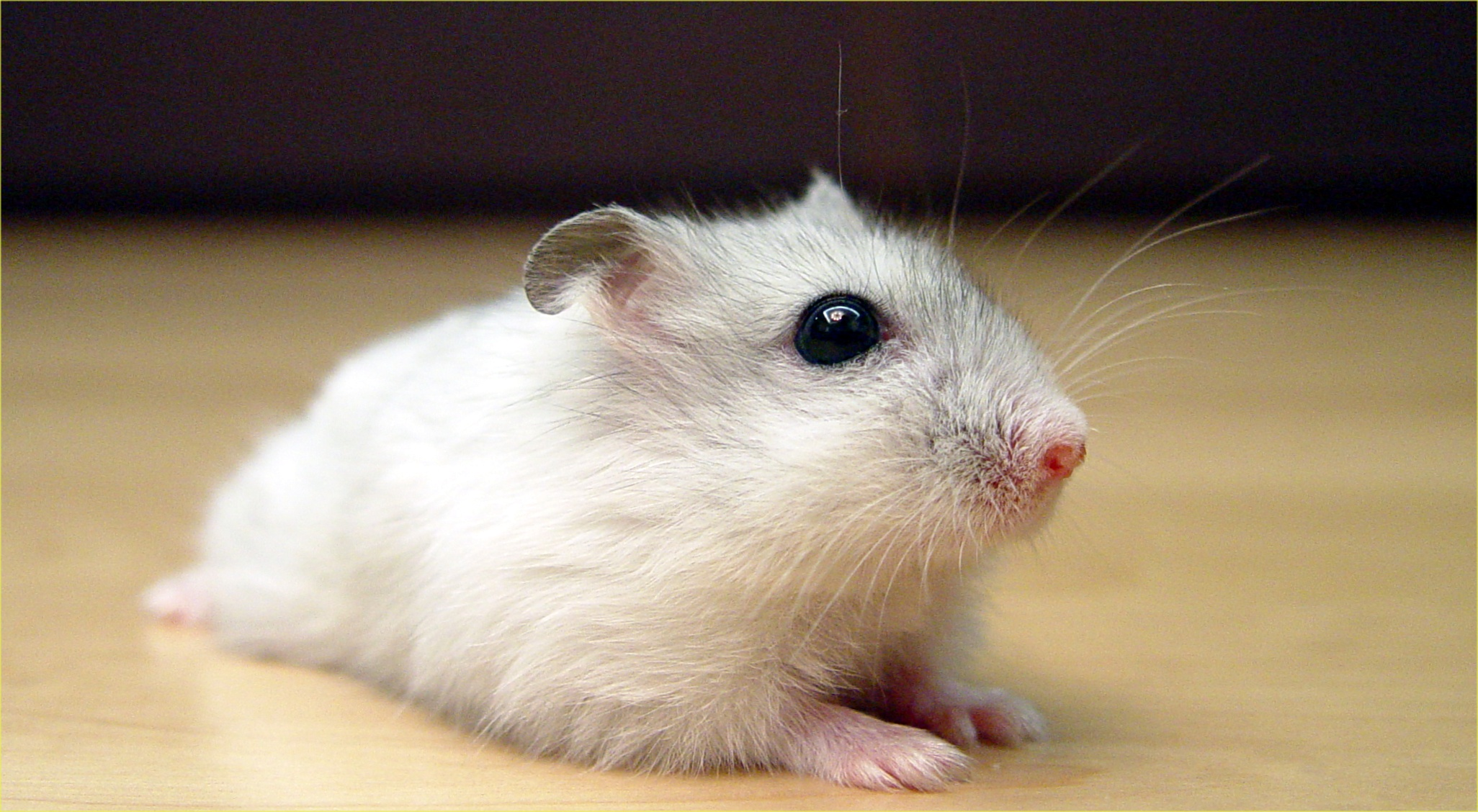What Do Hamsters See and Hear? - Best Hamster Care Guide