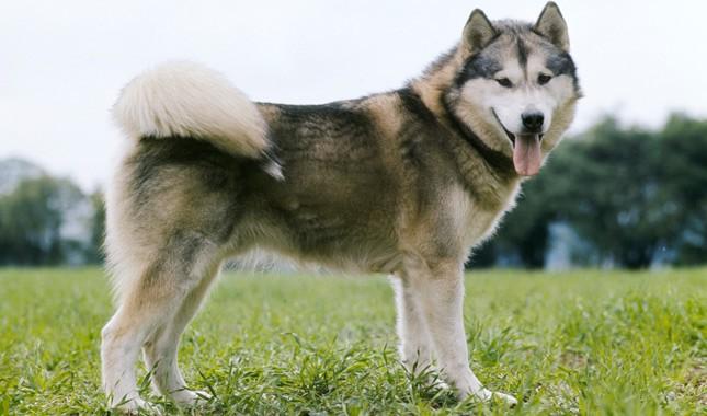 Alaskan Malamute Breed Characteristics