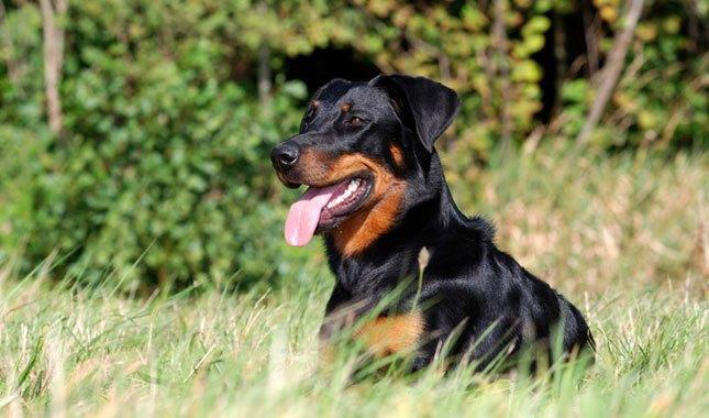 Beauceron Breed Characteristics