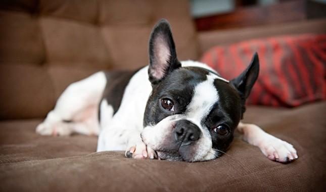 Boston Terrier Breed Characteristics