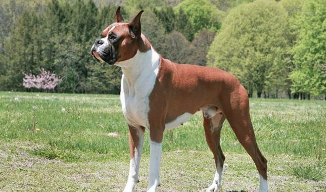 Boxer Breed Characteristics