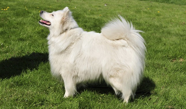 German Spitz Breed Information