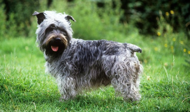 Glen of Imaal Terrier Breed Information