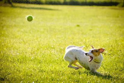 Automatic-Dog-Ball-Thrower