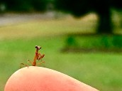 A tiny surprise visitor: During a birdwatching session in Hope Gardens last year, this small but exquisite praying mantis landed in my hair!
