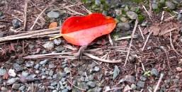 A single red leaf on a path in Portland.