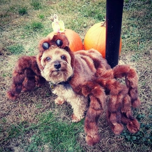 tarantula Spider dog Halloween costume